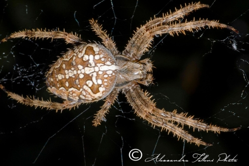 Araneus marmoreus r