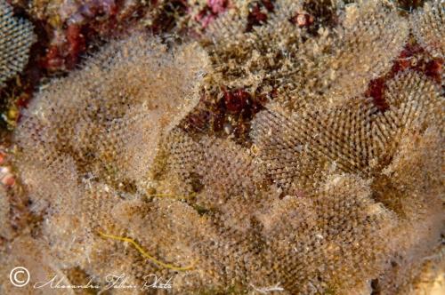 Beania magellanica r