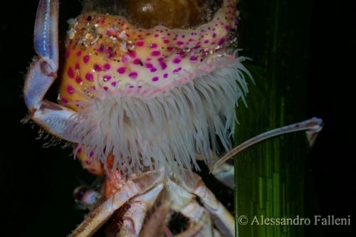 (Actiniaria) Adamsia carciniopados