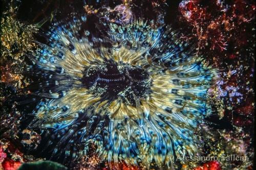 (Actiniaria) Anthopleura ballii