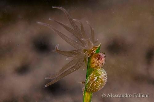 (Actiniaria) Bunodeopsis strumosa