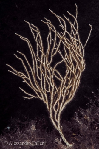 (Gorgonacea) Eunicella singularis