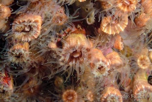 (Madreporaria) Phyllangia mouchezi