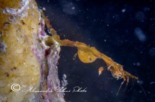 (Amphipoda) Caprella sp 2 r