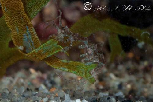 (Amphipoda) Caprella sp DSC 5347 r