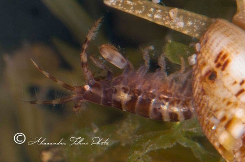 (Amphipoda)  sp. 35 r