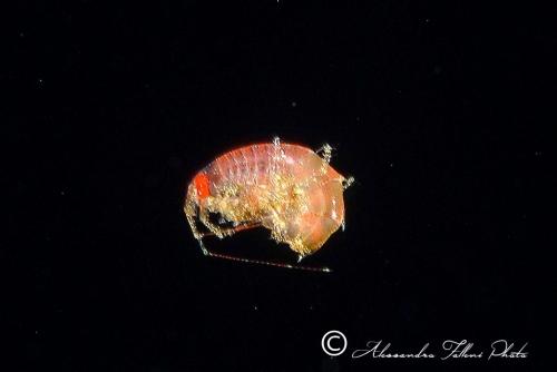 (Amphipoda)  sp. DSCF5594 r