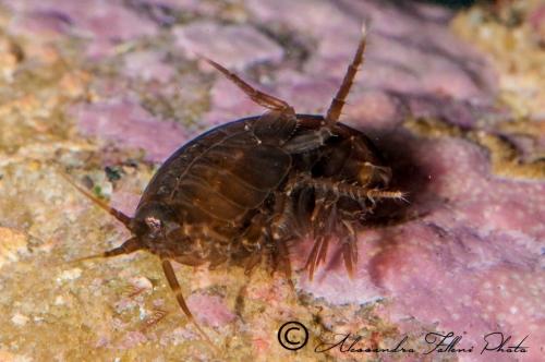 (Amphipoda)  sp. DSC 0838 r