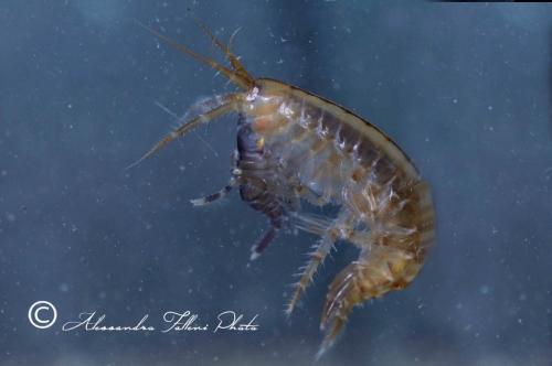 (Amphipoda)  sp. DSC 1317 r