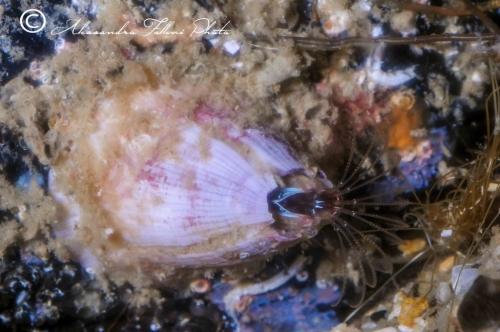 (Cirripedia) Amphibalanus amphitrite 2 r