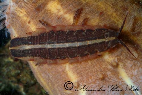 (Isopoda) Idotea sp.... r