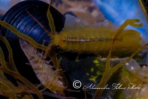 (Isopoda) Idotea sp. DSC 0042 r