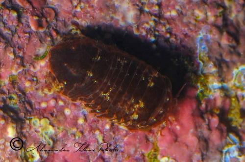 (Isopoda) sp.25 DSC 4811 r