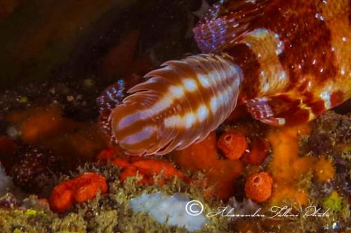 (Isopoda) sp.27 IMG 1203 r
