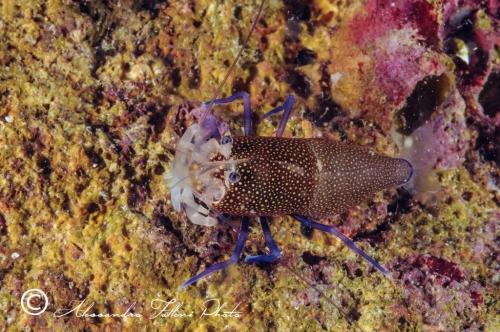 (Natantia) Gnathophyllum elegans r