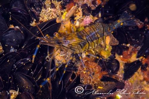 (Natantia) Palaemon elegans 2 r