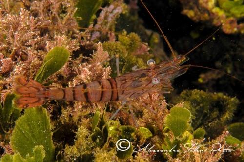 (Natantia) Palaemon serratus r