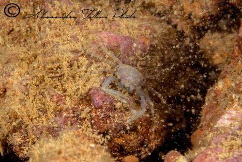 (Reptantia Anomura) Munida sp. 2 r