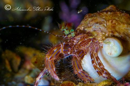 (Reptantia Anomura) Pagurus anachoretus r