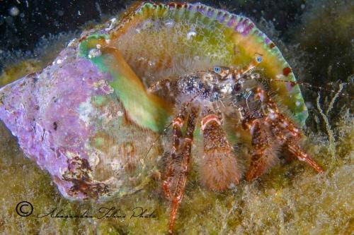 (Reptantia Anomura) Pagurus cuanensis r