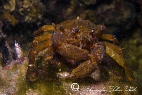 (Reptantia Brachyura) Acanthonyx lunulatus 1 r