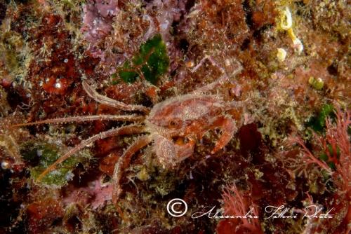 (Reptantia Brachyura) Bathynectes longipes r