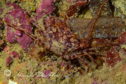 (Reptantia Brachyura) Liocarcinus depurator r