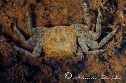 (Reptantia Brachyura) Pachygrapsus marmoratus 1 r