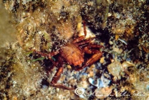 (Reptantia Brachyura) Pisidia longicornis r