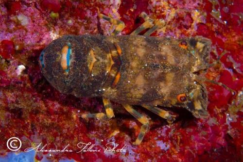 (Reptantia Macrura) Scyllarus arctus 3 r