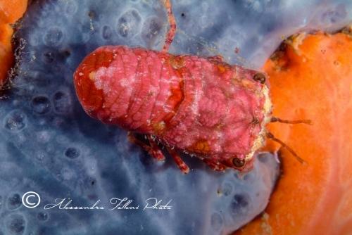 (Reptantia Macrura) Scyllarus pygmaeus 1 r