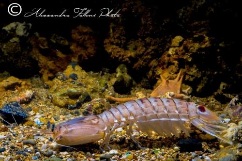 (Stomatopodi) Squilla mantis r