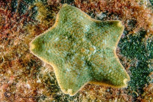 (Asteroidea) Asterina gibbosa 2 r