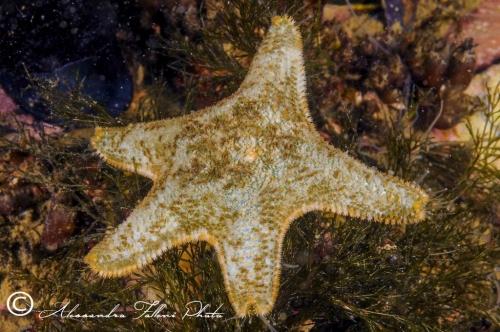 (Asteroidea) Asterina gibbosa r