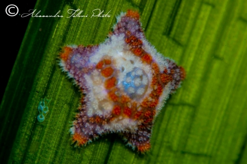 (Asteroidea) Asterina phylactica r