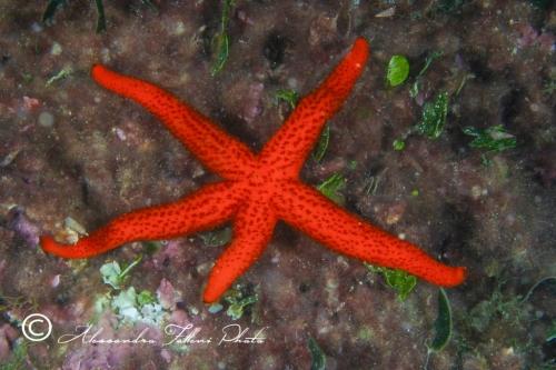 (Asteroidea) Echinaster sepositus r