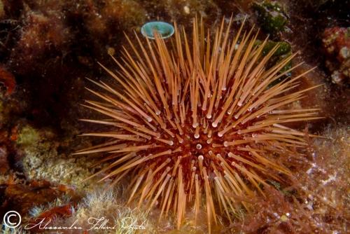 (Echinoidea) Paracentrotus lividus 1 r
