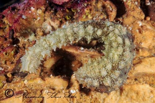 (Holothuroidea) Holoturia sp. 4 r