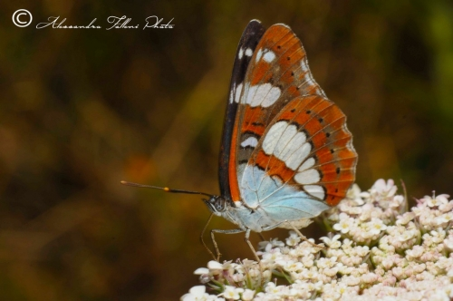 Limenitis reducta r