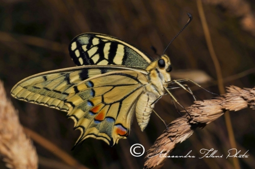 Papilio machaon r