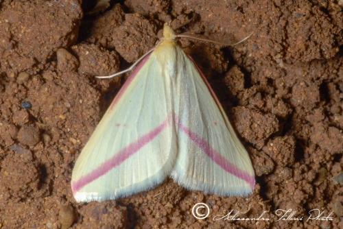 Rhodometra sacraria r