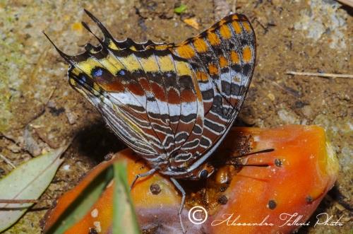 Lepidoptera (farfalle e falene)