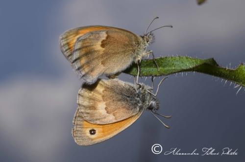 Coenonympha pamphilus r