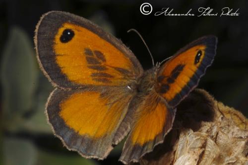 Maniola tithonius r