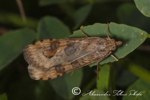 Nomophila noctuella r
