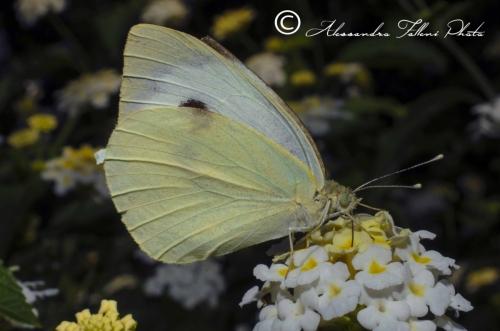 Pieris brassicae r