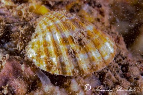 (Bivalvia) Acanthocardia paucicostata r