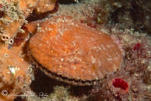 (Bivalvia) Chlamys  varia r
