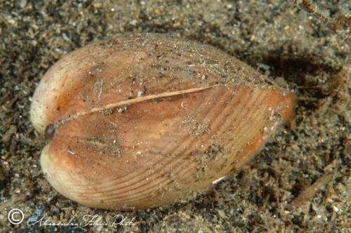 (Bivalvia) Laevicardium oblongum r