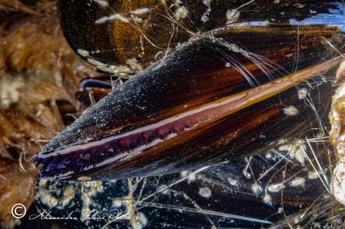 (Bivalvia) Mytilus edulis r